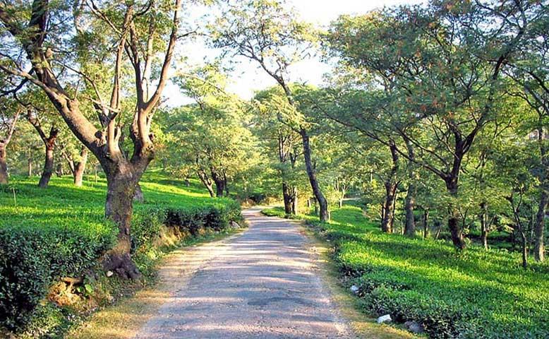 tea-garden-dharamshala